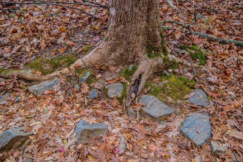 Drzewny bagażnik w jesieni wzdłuż śladu zdjęcia stock