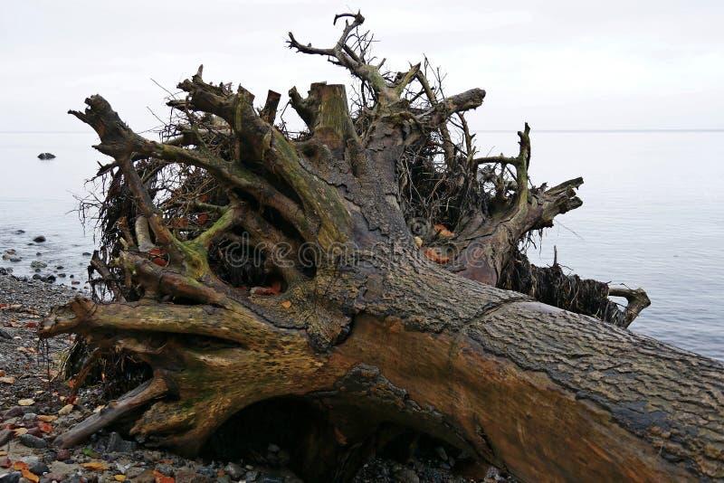 Drzewny bagażnik wykorzeniający na plaży w wodzie obrazy stock