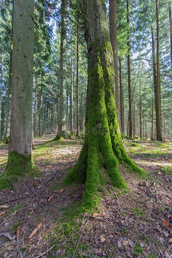 Drzewny bagażnik z zielonym mech, światłem słonecznym i niebieskim niebem, zdjęcie royalty free