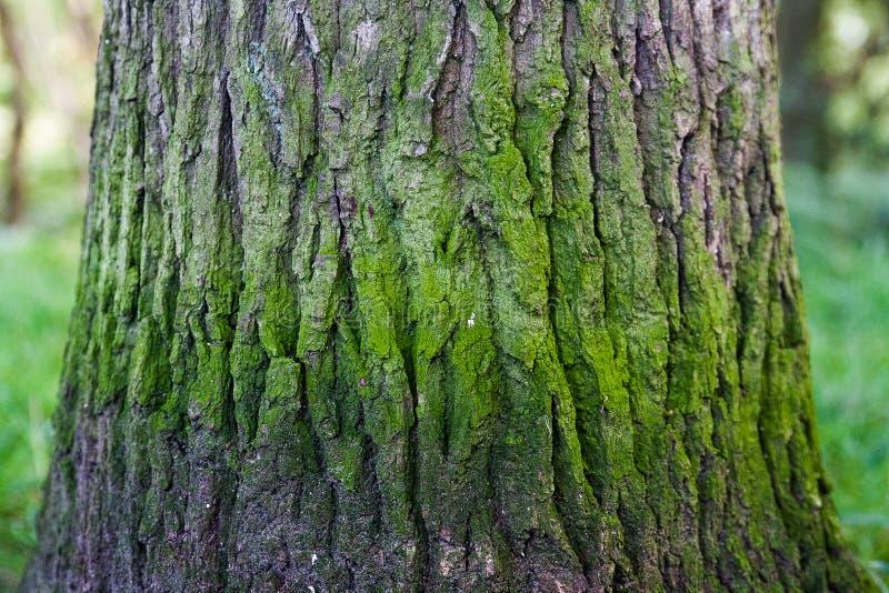 Drzewny bagażnik z zielonymi zespołami obraz stock