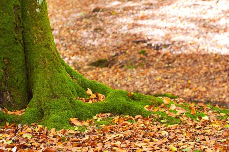 Drzewny bagażnik zakrywający w zielonym mech z suchymi liśćmi w backgro, zdjęcie stock