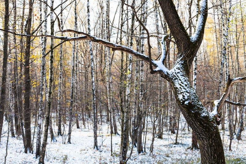 Drzewny bagażnik zakrywający z śnieżnym pobliskim brzozy copse obraz stock