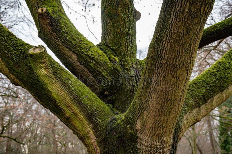 Drzewny bagażnik zakrywający z bujny zieleni mech z gęstym gałąź zbliżeniem Bardzo starzy drzewa w parku Berliński Niemcy tekstur zdjęcia royalty free