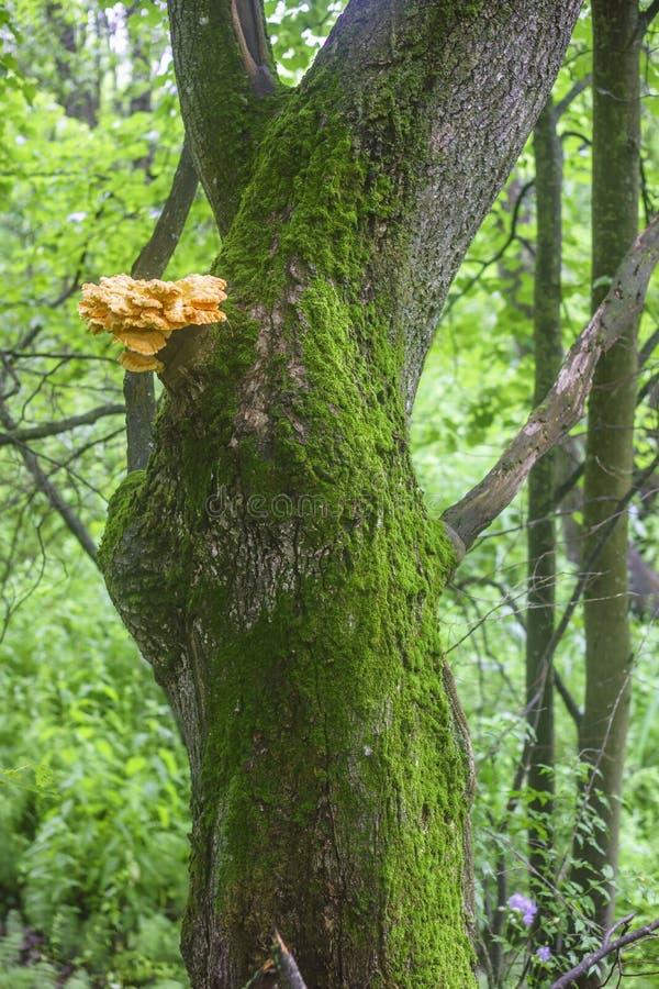 Drzewny bagażnik zakrywający z mech i z koloru żółtego grzybem obrazy stock
