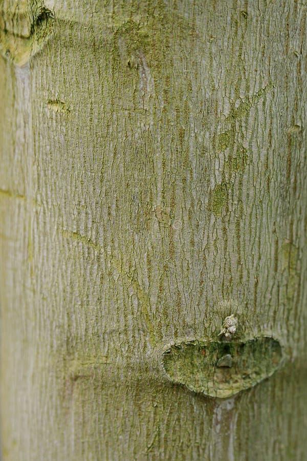 Drzewny bagażnik zamknięty w górę, korowata tekstura obrazy royalty free