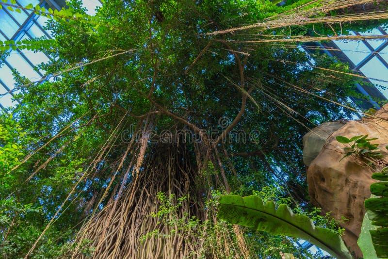 Drzewny baldachim w tropikalnej dżungli klauzurze Henry Doorly zoo Omaha Nebraska zdjęcie stock