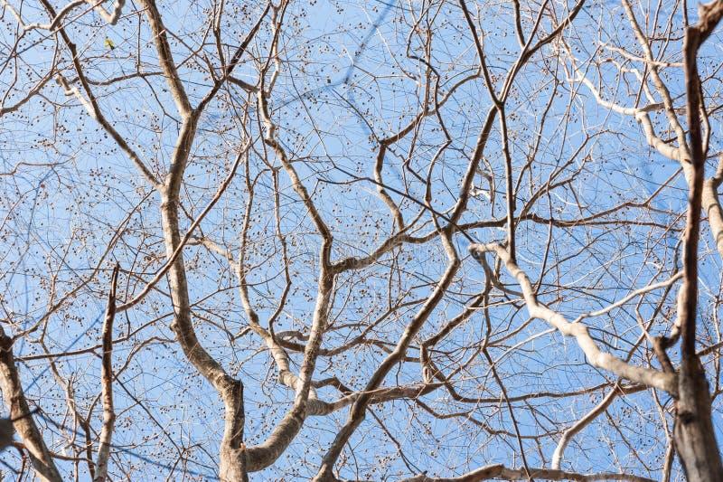 Drzewny branche Nagie gałąź drzewo przeciw niebieskiego nieba zakończeniu up zdjęcie stock