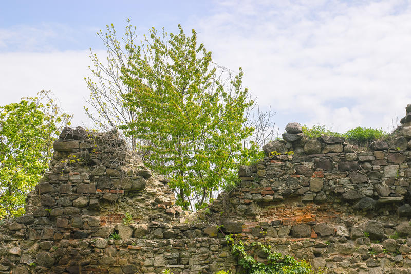 drzewny dorośnięcie przez średniowiecznej ściany obrazy royalty free