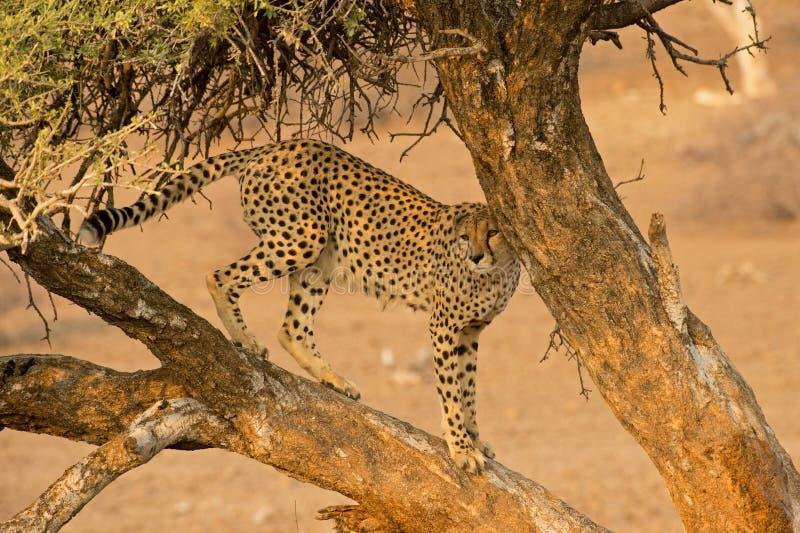 Drzewny gepard obrazy stock