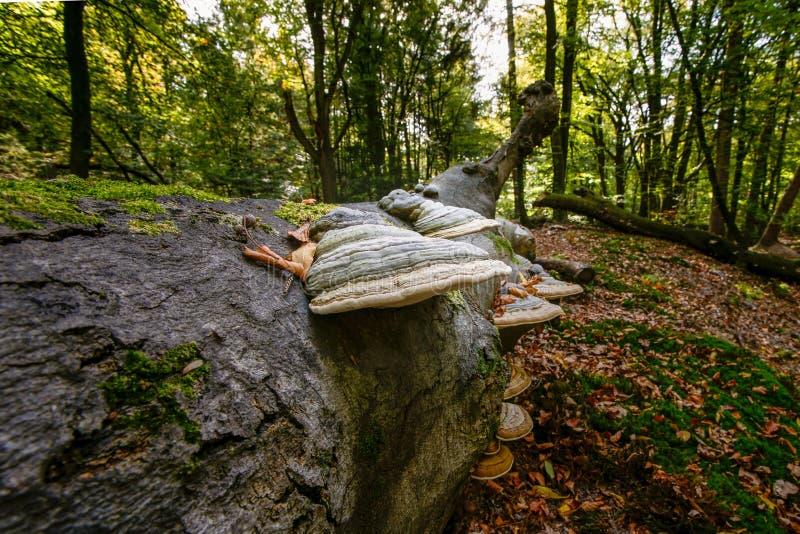 Drzewny grzyb w sezonie: touchwood na nieżywym drzewnym bagażniku w obrazy stock