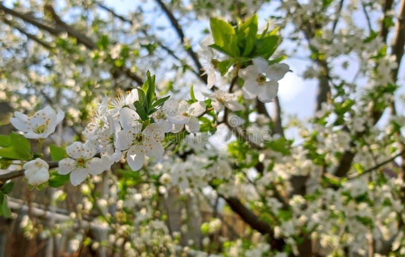Drzewny kwitnienie w wiośnie, biali kwiaty, Owocowy drzewo zdjęcie royalty free