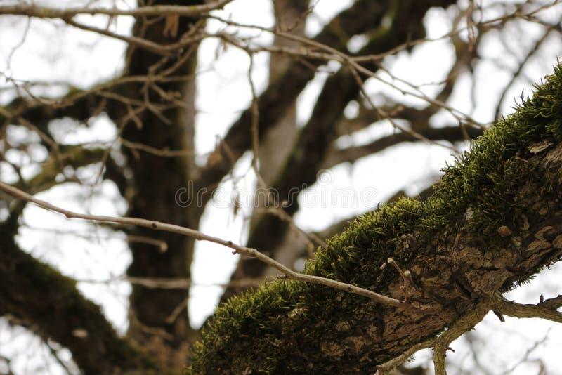 Drzewny mech obraz stock