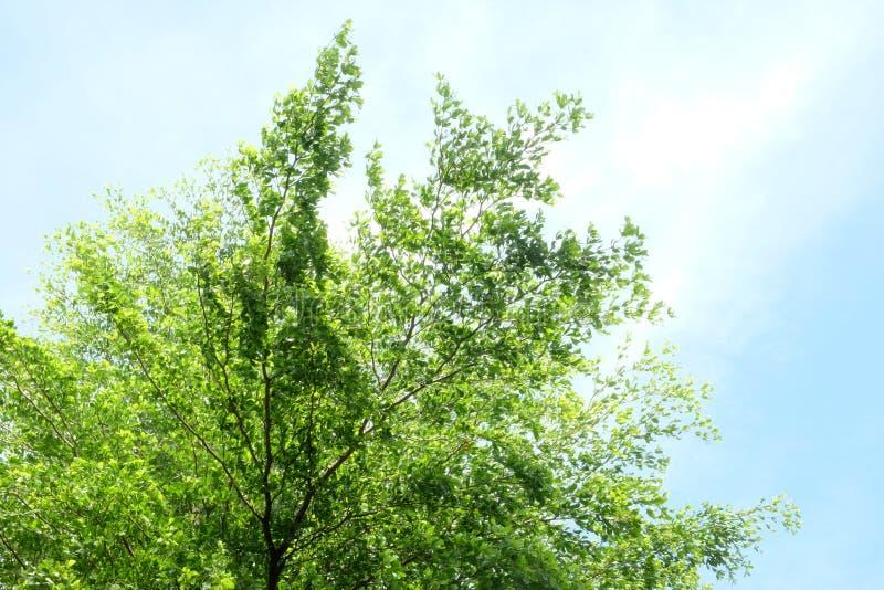 Drzewny niebieskiego nieba i drzewa wierzchołek przeciw niebieskiemu niebu zdjęcia stock