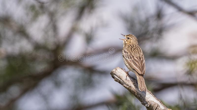 Drzewny Pipit śpiew na Drewnianej beli zdjęcie stock