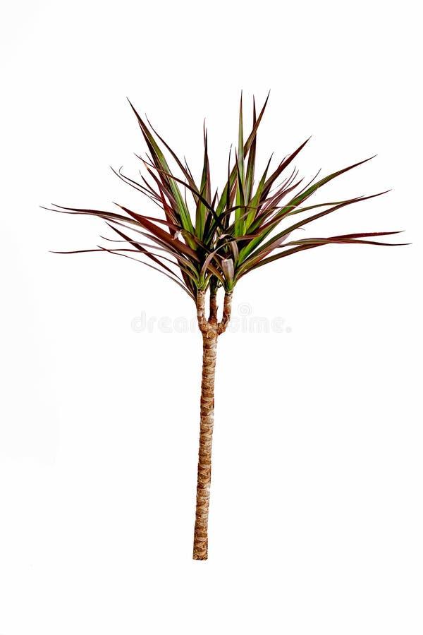 drzewny smoka bagażnik zdjęcie stock