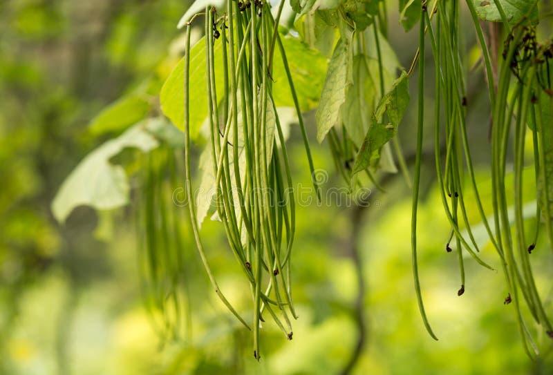 Drzewny surmia Bignonioides zdjęcia stock