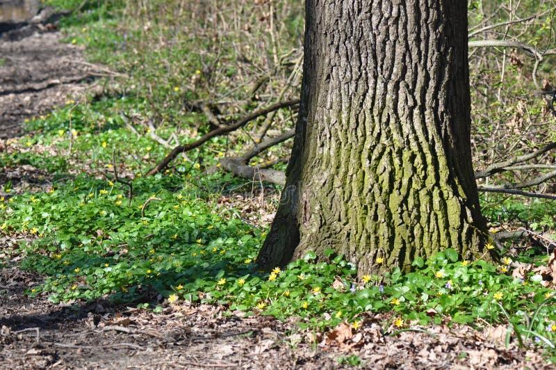 Drzewny thrunk zdjęcia stock