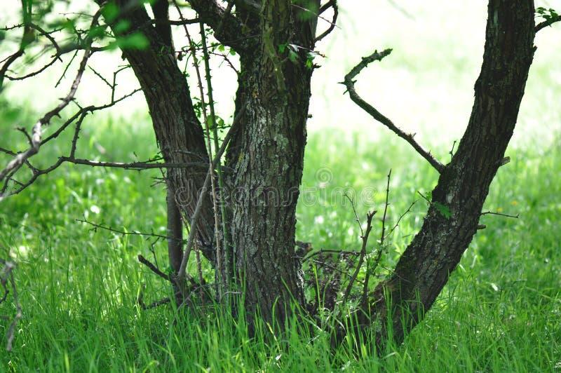 Drzewny thrunk obraz royalty free
