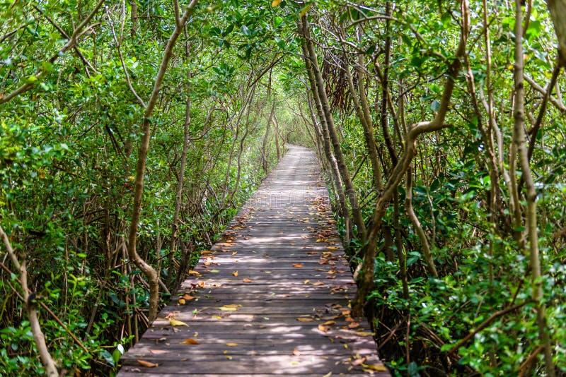 Drzewny tunel, Drewniany most W Namorzynowym lesie obraz stock