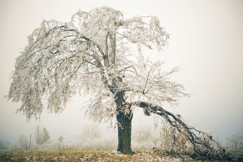 Drzewny witth łamająca gałąź fotografia royalty free