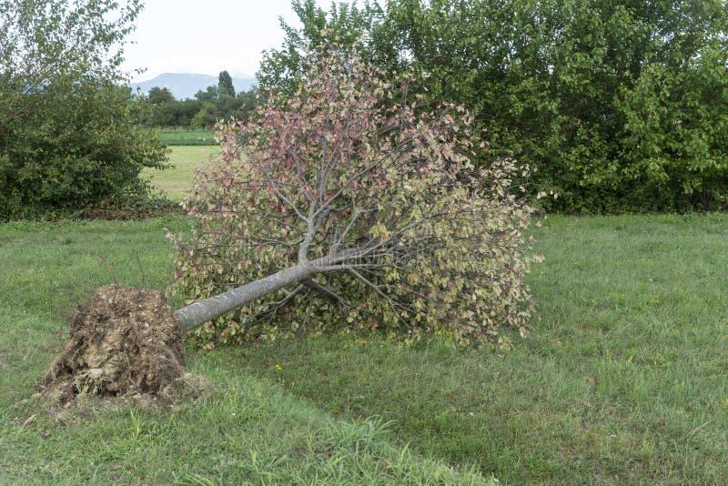 Drzewo łamający wiatrem zdjęcie royalty free
