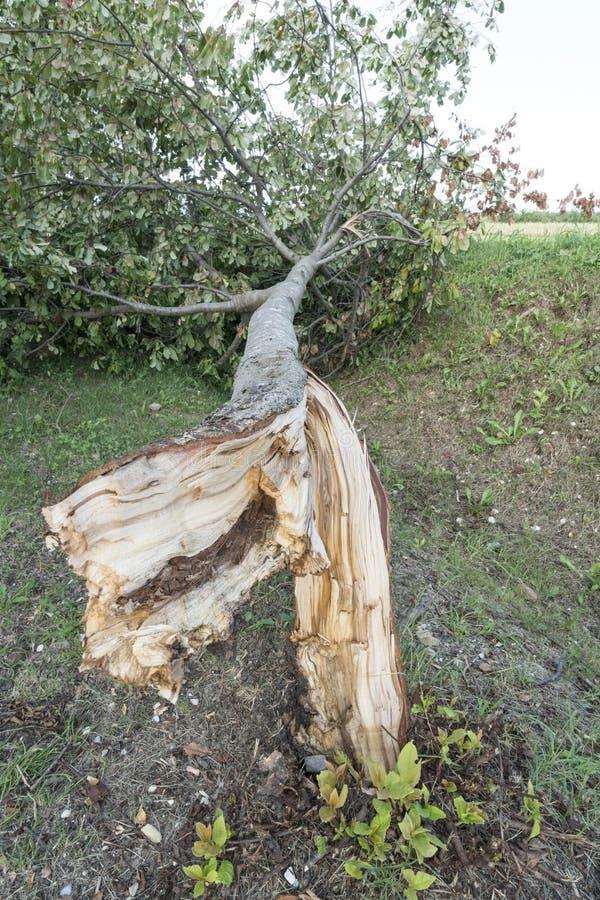 Drzewo łamający wiatrem fotografia royalty free