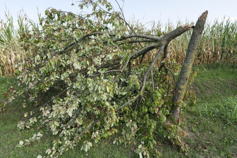 Drzewo łamający wiatrem obrazy royalty free