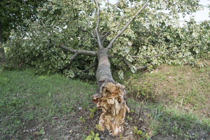 Drzewo łamający wiatrem zdjęcia royalty free