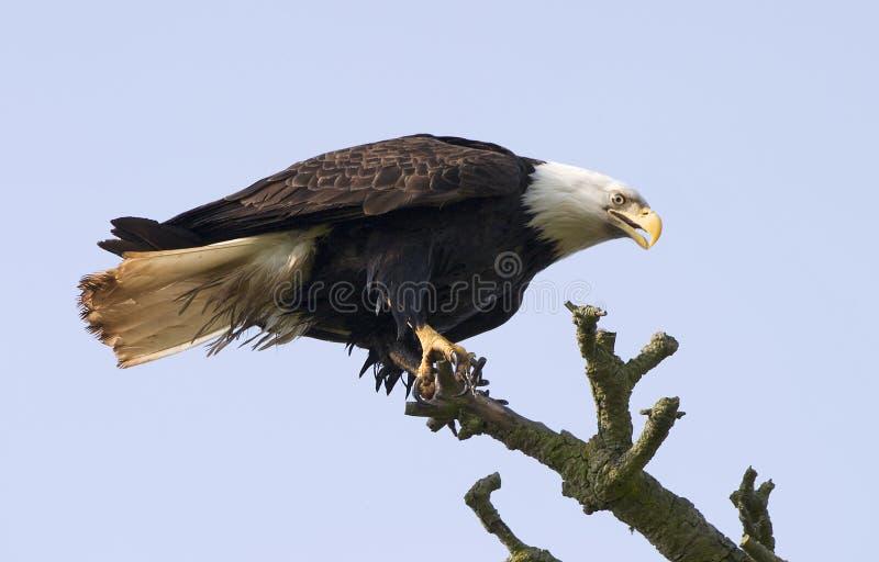 drzewo, łysego orła zdjęcie royalty free