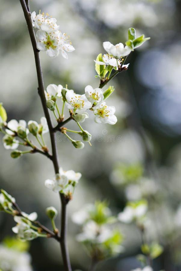 drzewo śliwkowy obraz stock