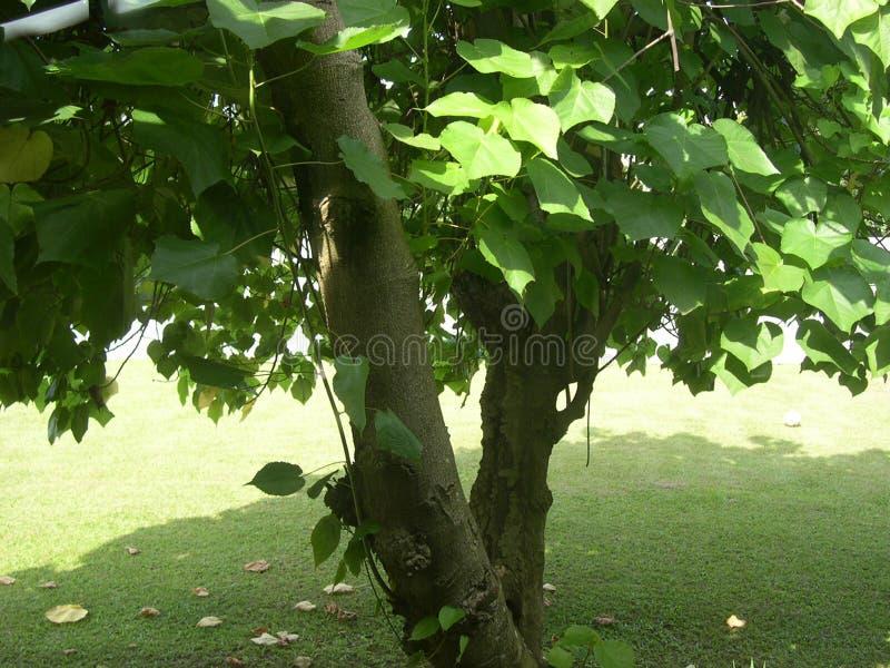 Download Drzewo zdjęcie stock. Obraz złożonej z ogród, liść, tropikalny - 134598