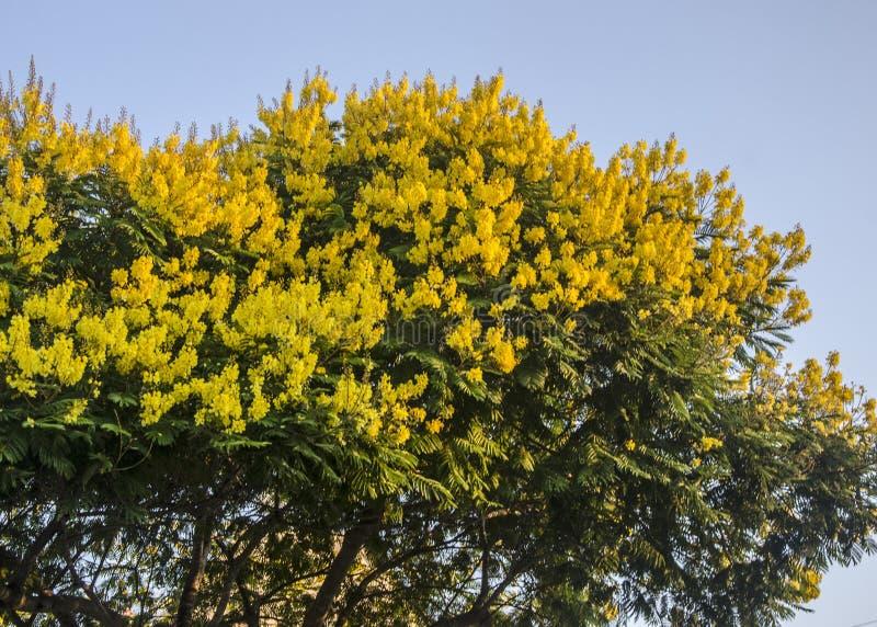 Drzewo akacji z kwiatami obraz royalty free