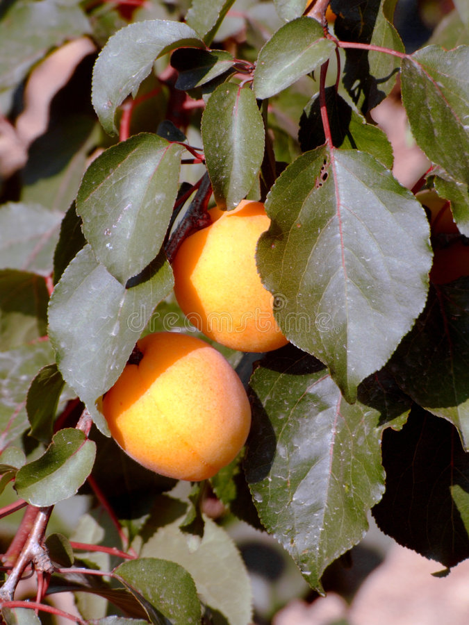 drzewo apricot obrazy stock