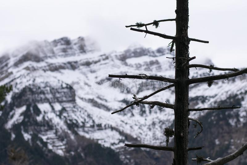 Drzewo bez liści z śnieżną górą w tle obrazy royalty free