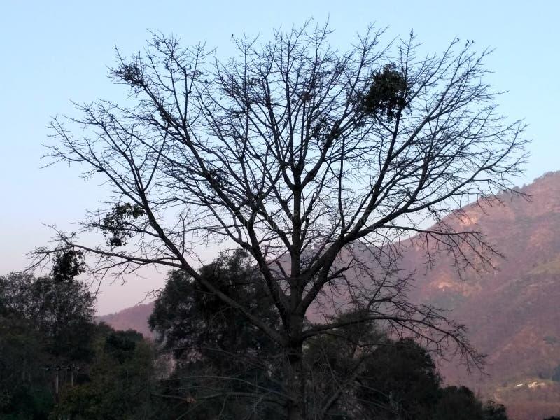 Drzewo bez urlopu obrazy royalty free