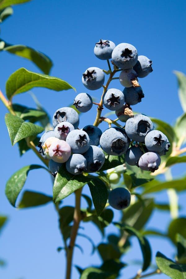 drzewo blueberry zdjęcie stock