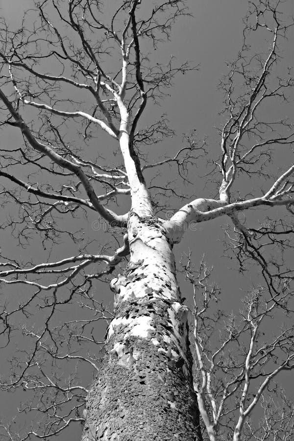 drzewo brzozy zdjęcie stock
