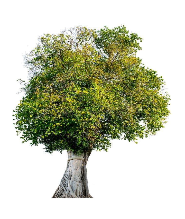 Drzewo całkowicie oddziela od białego półdupka tła Naukowego obrazy stock