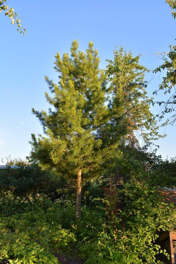 Drzewo cedrowe rośnie w przerośniętym ogrodzie fotografia royalty free