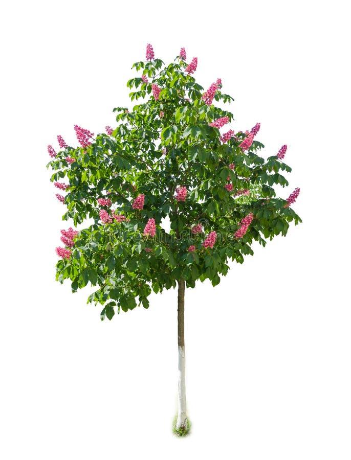 Drzewo czerwony kasztanowiec z kwiatami na lekkim tle obraz royalty free