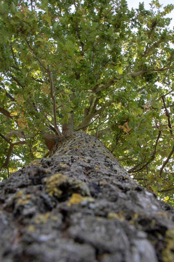 Drzewo dębowe, widok z perspektywy wzdłuż pnia drzewa obraz royalty free
