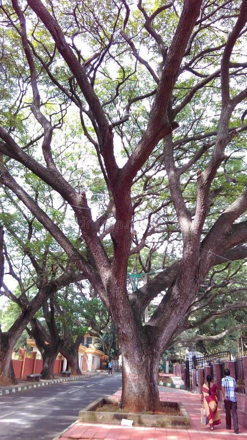 Drzewo, duży drzewo, ogromny drzewo, duzi drzewa r obok drogi, fotografia royalty free