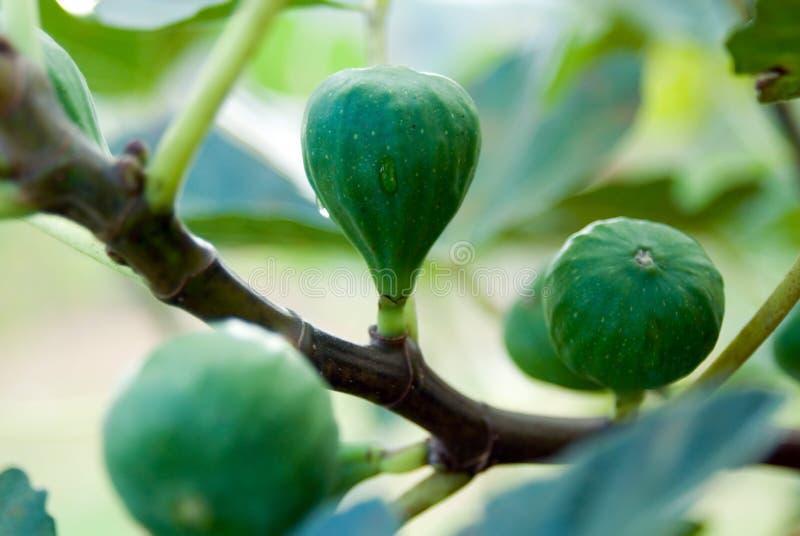 drzewo figowe zdjęcia stock