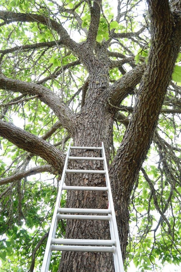 drzewo idzie drabina drzewo fotografia stock