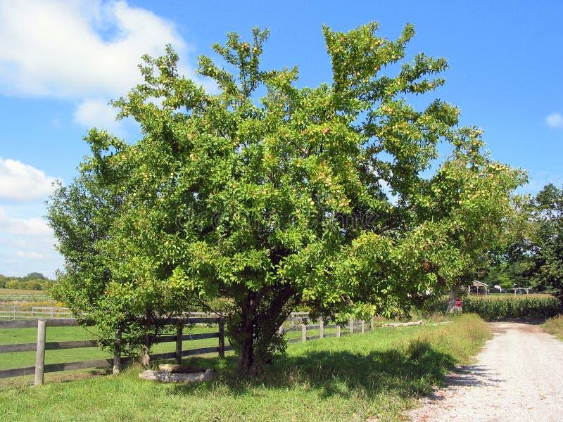 drzewo jabłka rolnych fotografia royalty free