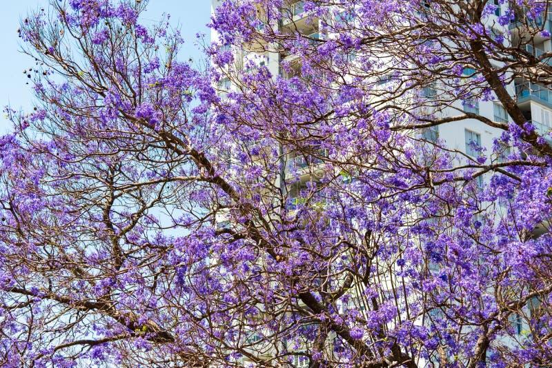 Drzewo Jacarandy obraz stock