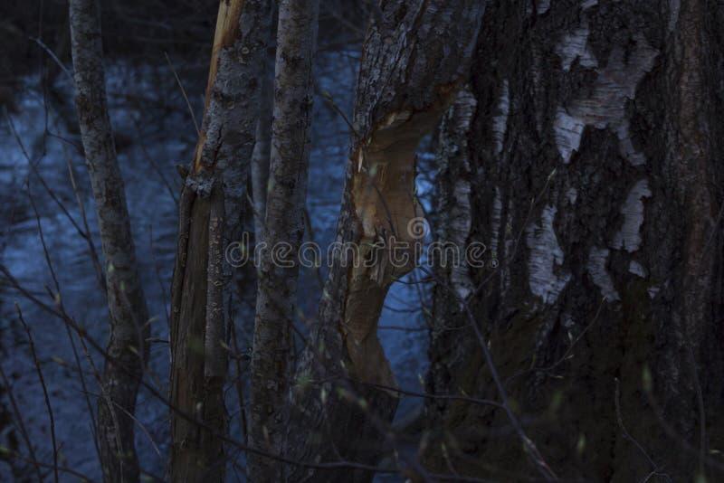 Drzewo jedzący bobrami, obok rzeki w północnym Szwecja Rzeczny widoczny w tle, brzozy drzewo obok zjedzonego drzewa zdjęcia stock