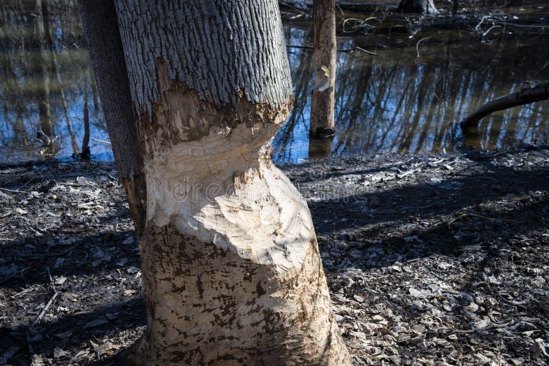 Drzewo jest ciącym puszkiem bobrami w parku zdjęcia royalty free