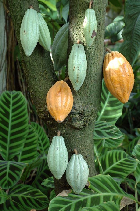 drzewo kakaowy zdjęcie stock