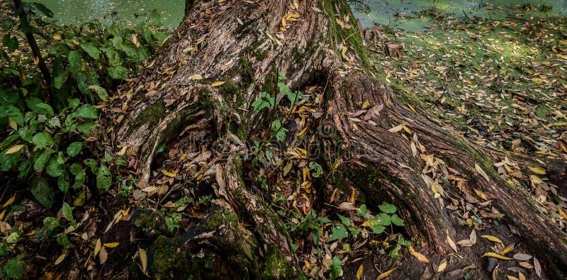Drzewo korzeń zdjęcie royalty free